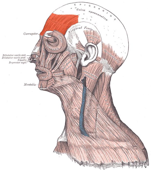 Frontalis muscle - Wikipedia