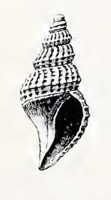 Oenopota maclaini 001.jpg