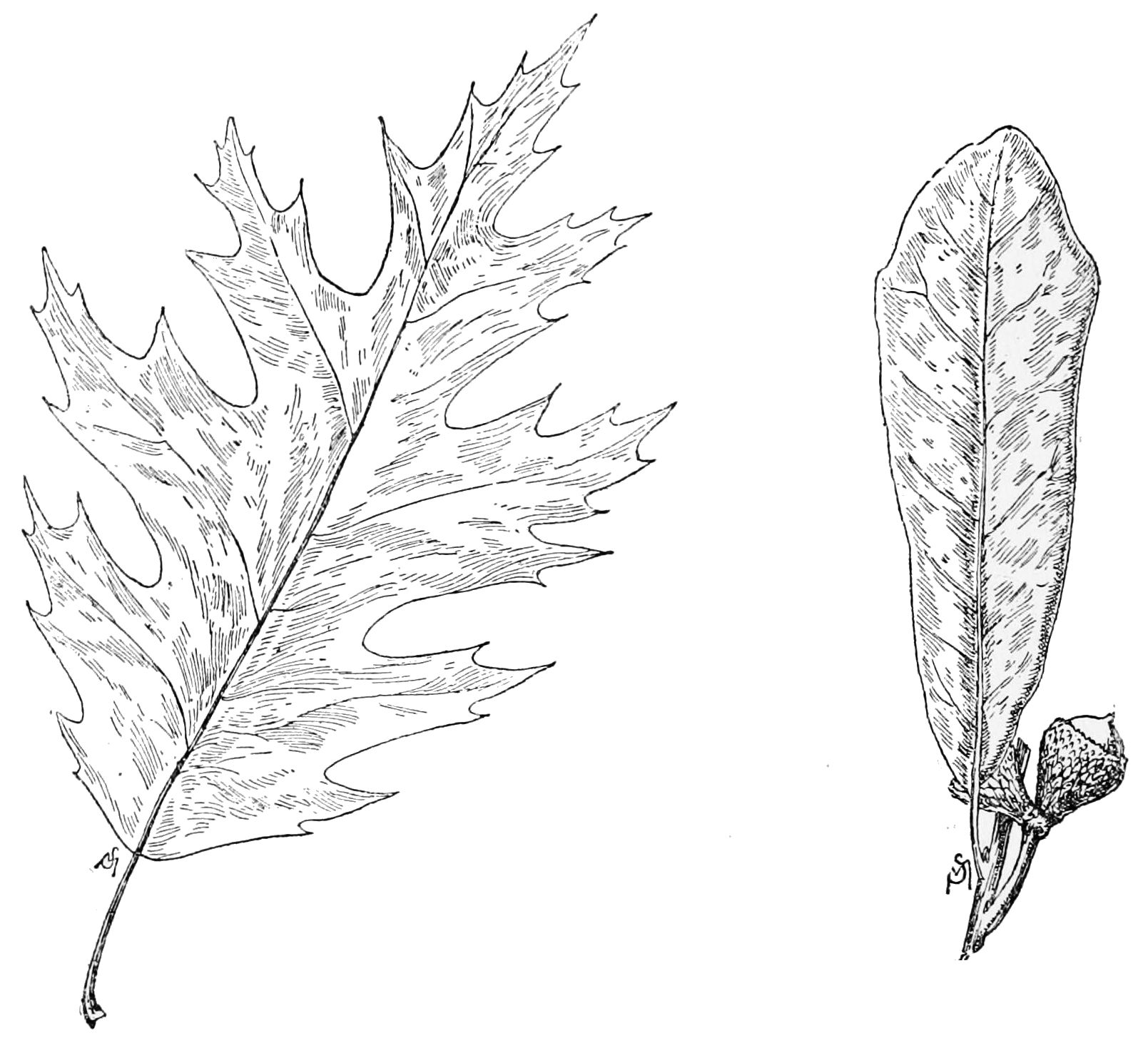 Leaves And Lives And Live Oak Leaves.jpg