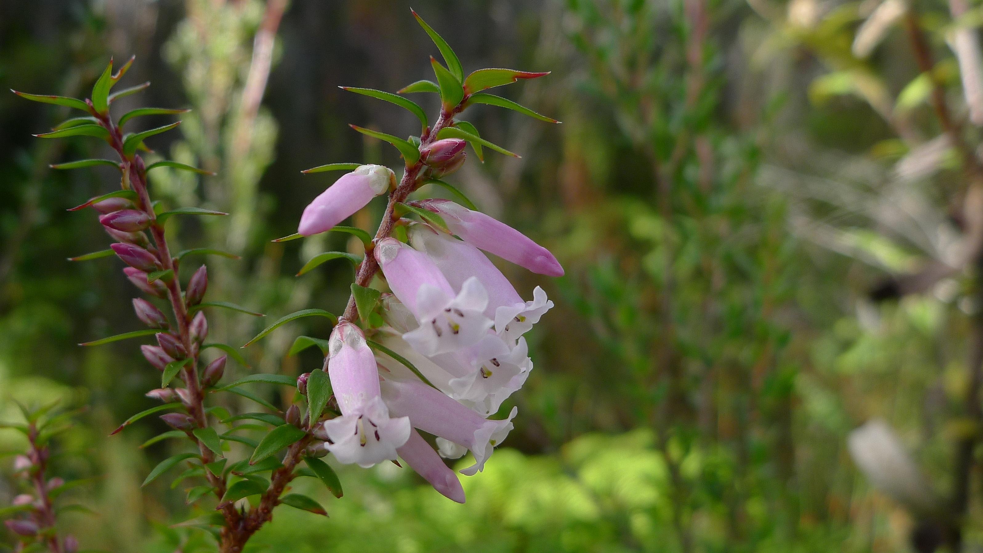 Filepale Pink Common Heath 6698549881g Wikimedia Commons