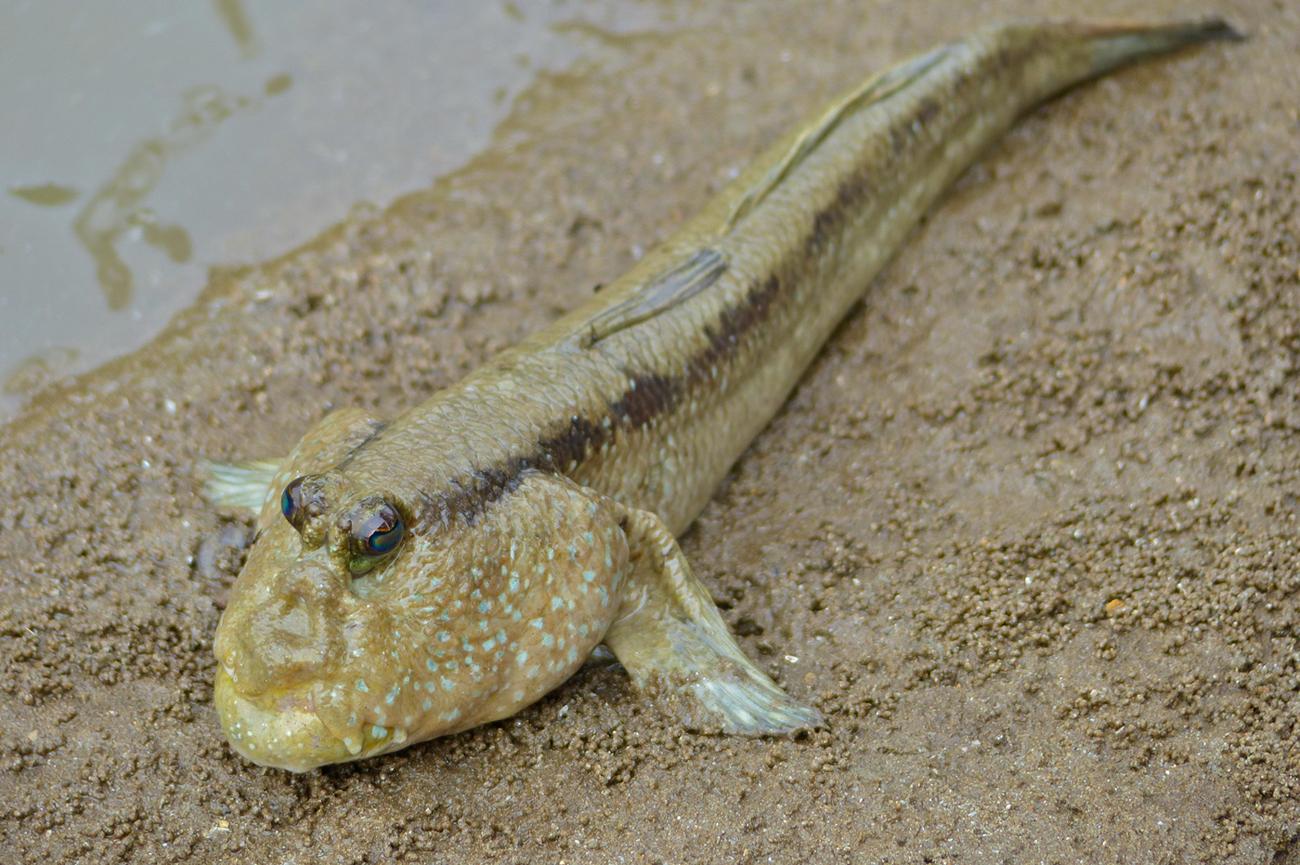 <i>Periophthalmodon freycineti</i> species of fish
