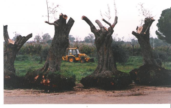 העתקת עצי זית לשדרת השלום