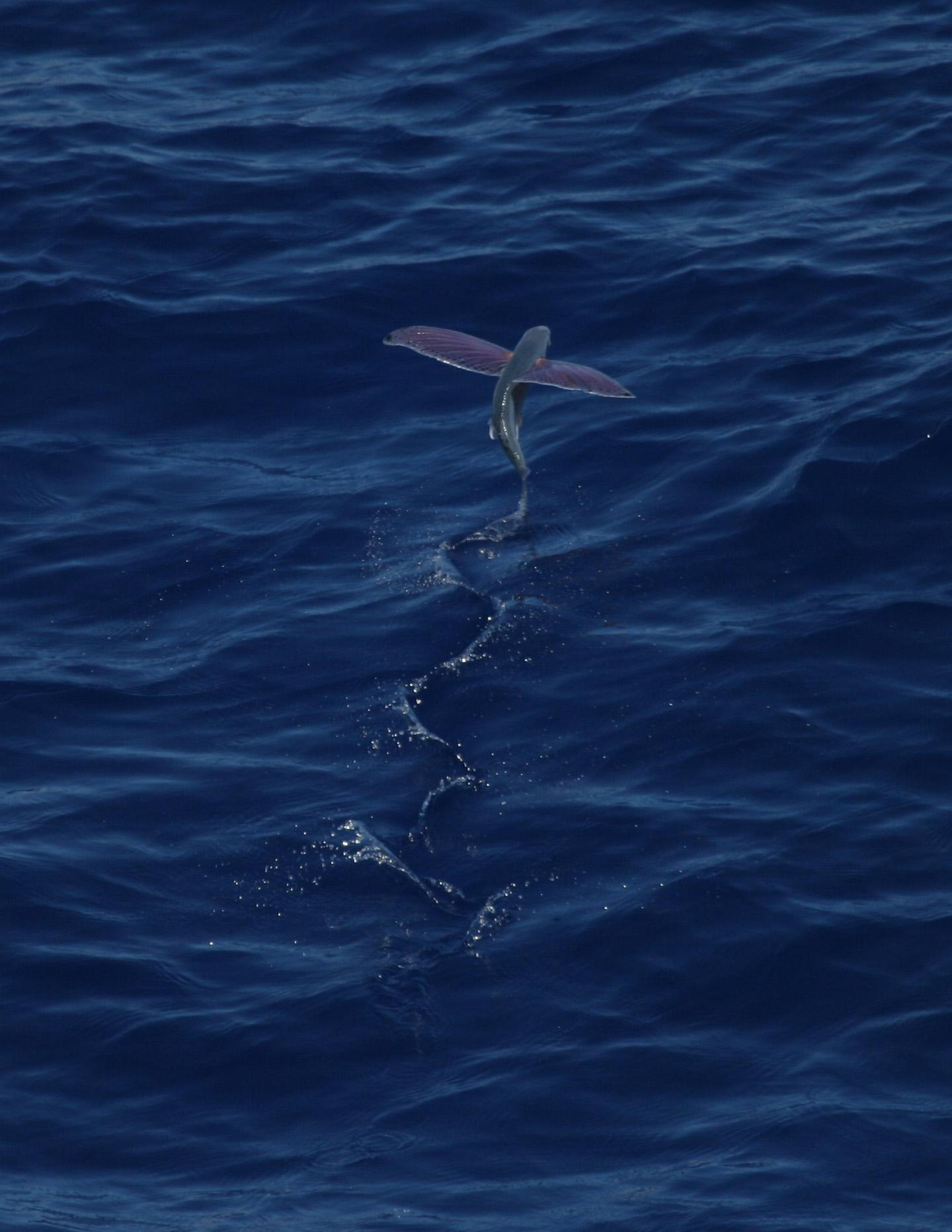 Filepink Wing Flying Fish00g Wikimedia Commons