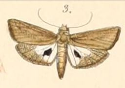 <i>Imma</i> genus of insects