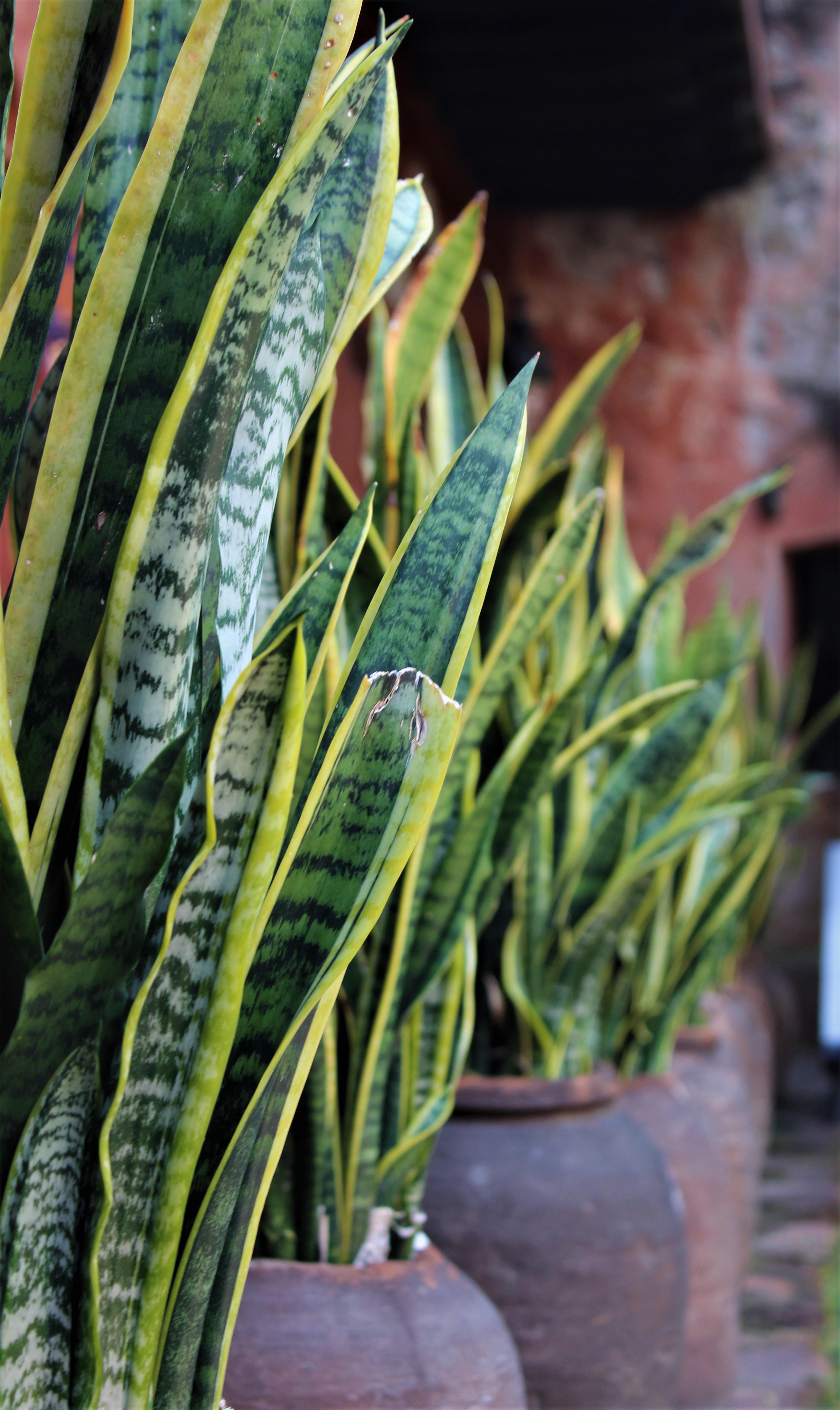 Plantas que purifican el aire - Lengua de suegra