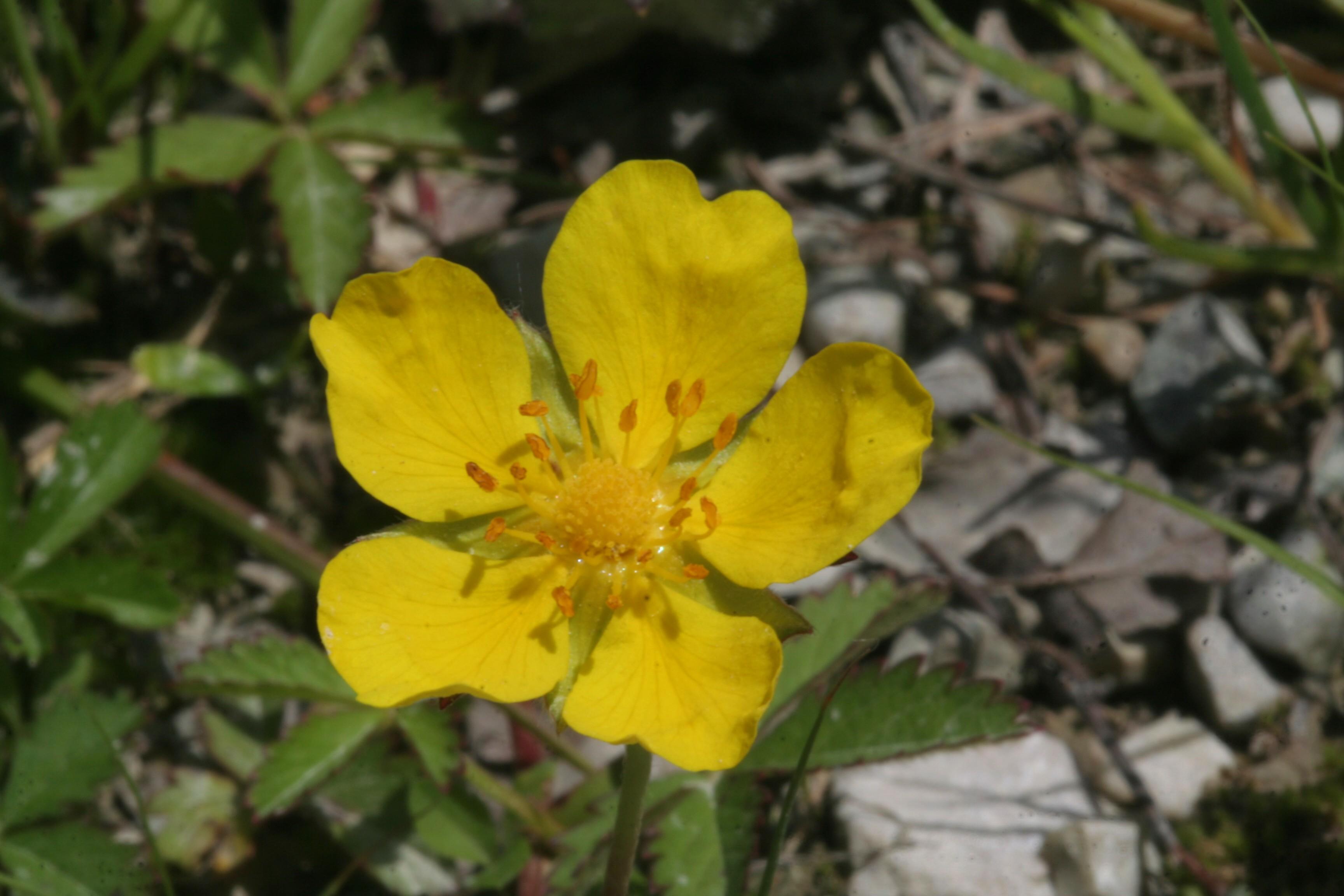 Fiore Giallo 6 Petali.Potentilla Reptans Wikipedia