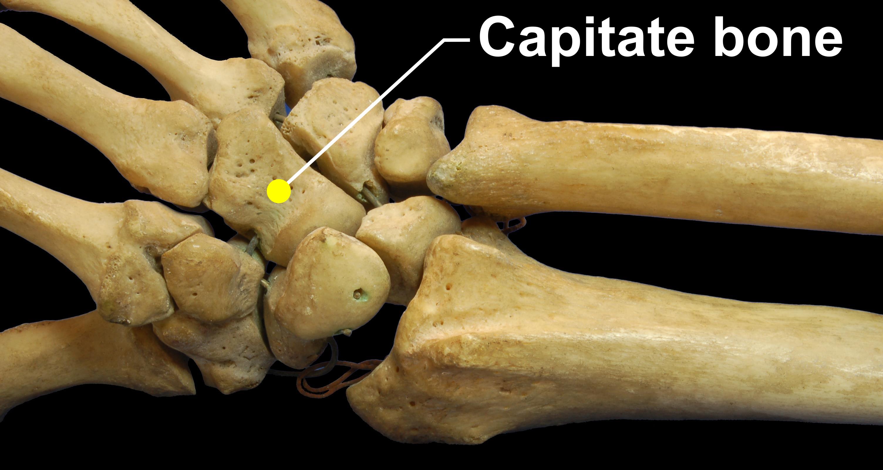"""Bildergebnis für """"capitate bone"""""""