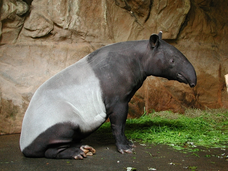 Tapirus indicus, Zoological Garden, Stuttgart, Germany