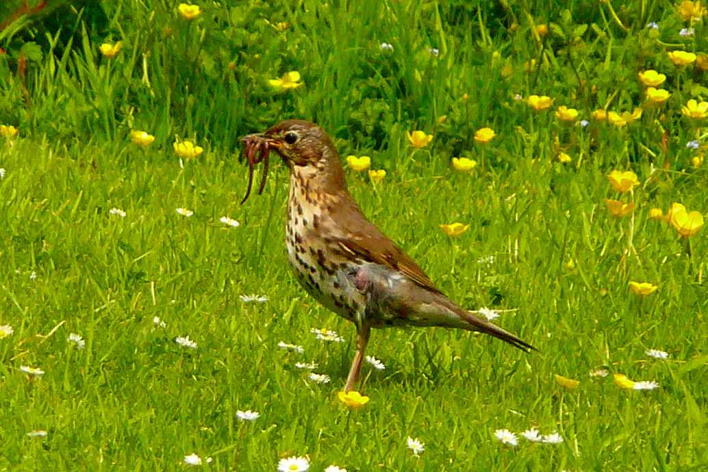 File Song Thrush Turdus Philomelos With Worms In Beak On Grass
