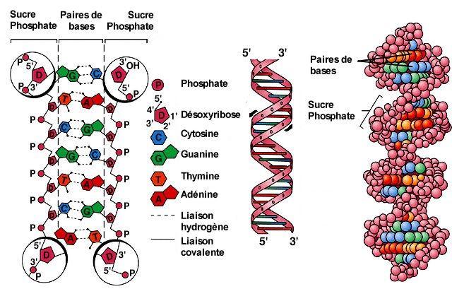 """Résultat de recherche d'images pour """"liaison hydrogène"""""""