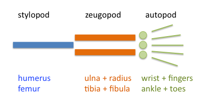 Vertebrate limbs are organized into stylopod, zygopod, and autopod.
