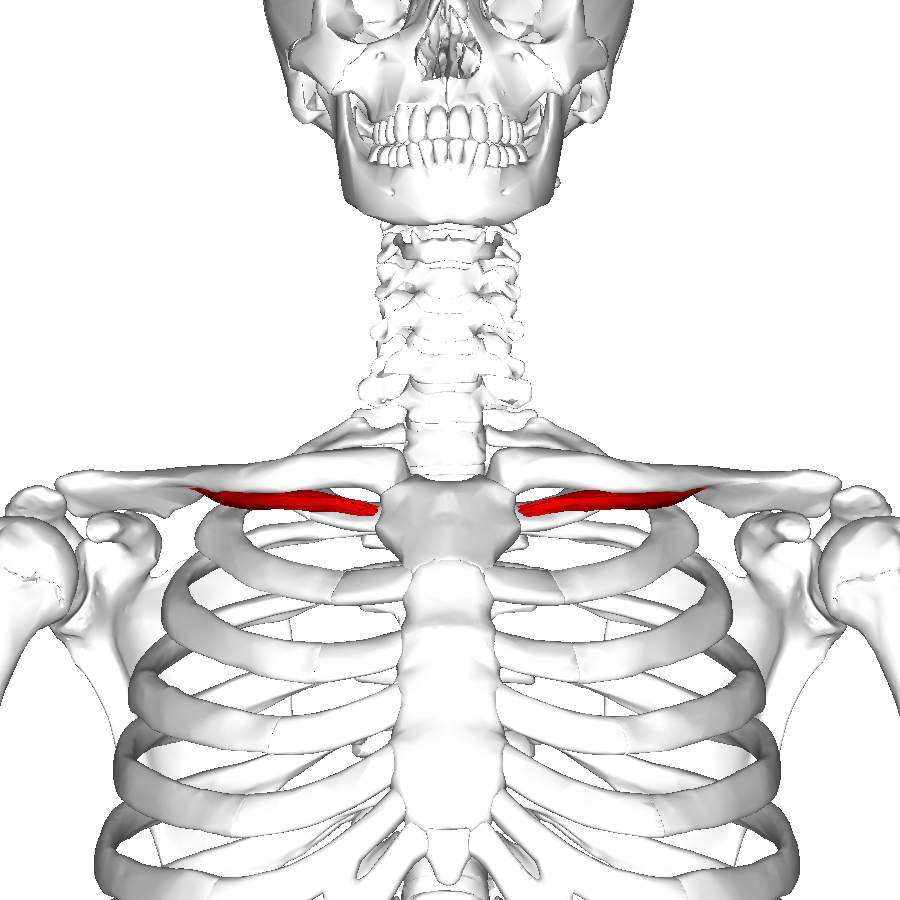 Subclavius Muscle Wikipedia