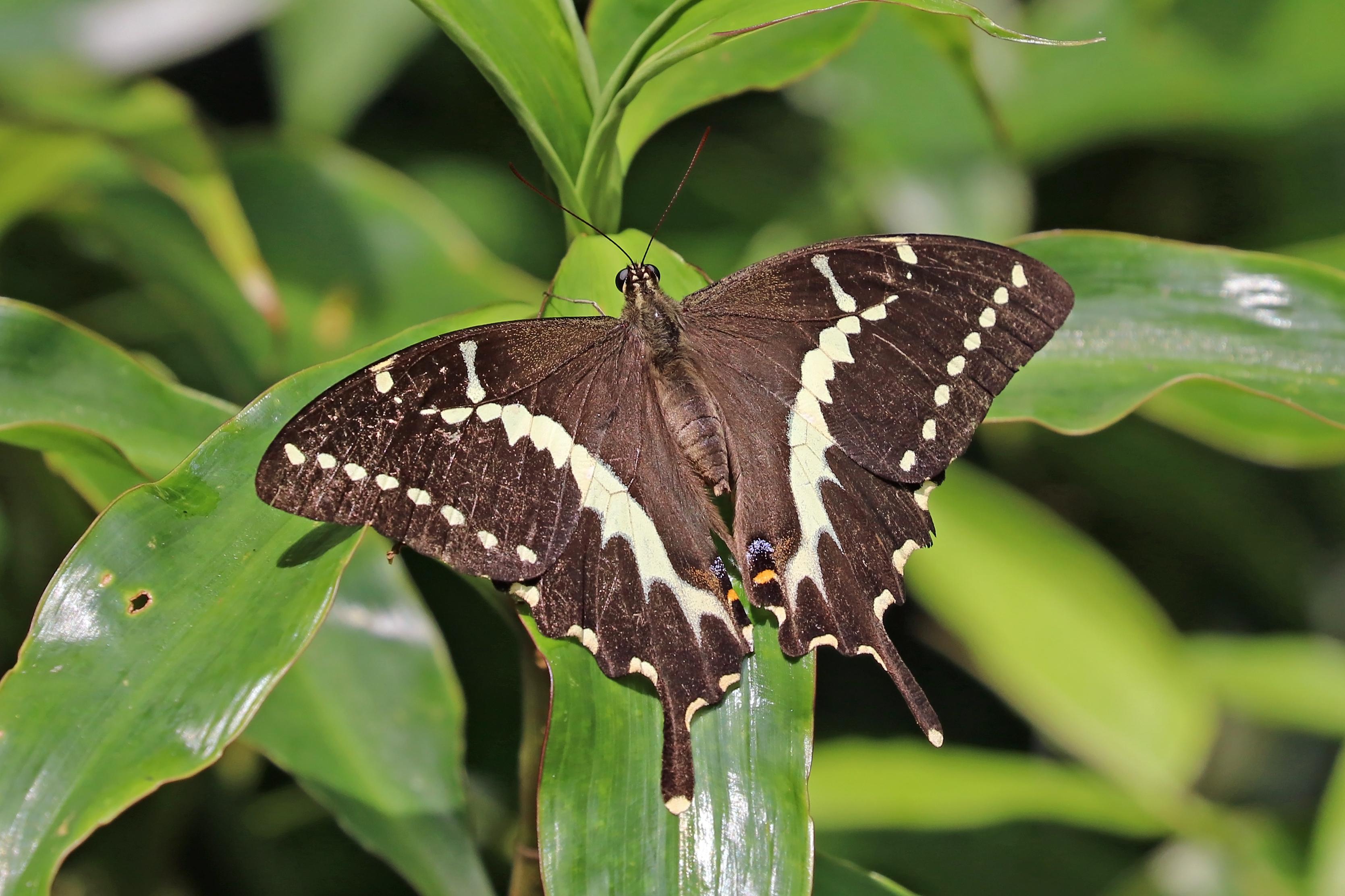 Sưu tập Bộ cánh vẩy 2 - Page 66 Swallowtail_%28Papilio_mangoura%29_female
