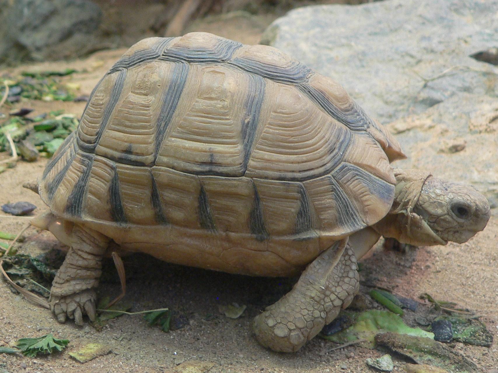 معلومات عامه عن السلحفاه tortoise TEstudo_kleinmanni_2008-11-02_246