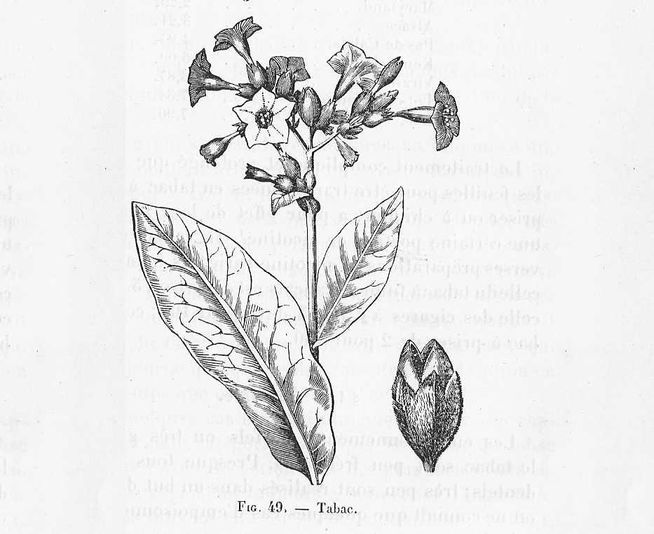 file tabac plante dessin wikimedia commons. Black Bedroom Furniture Sets. Home Design Ideas