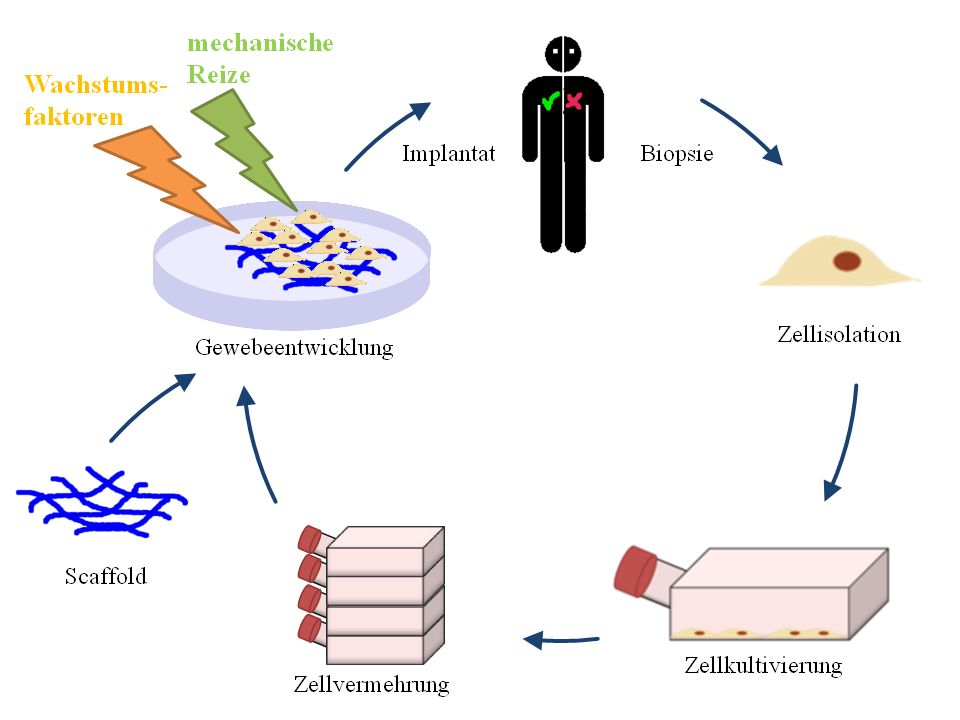 Tissue engineering deutsch.jpg