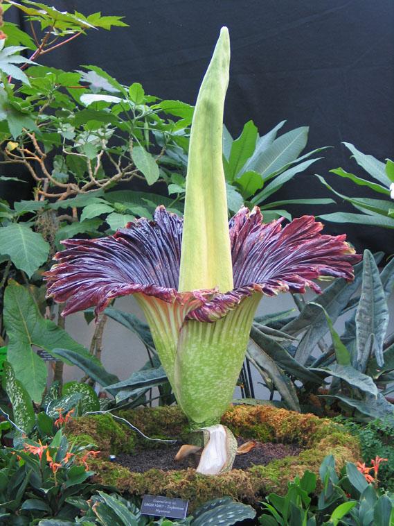 Аморфофаллус описание растения и фото Основные виды