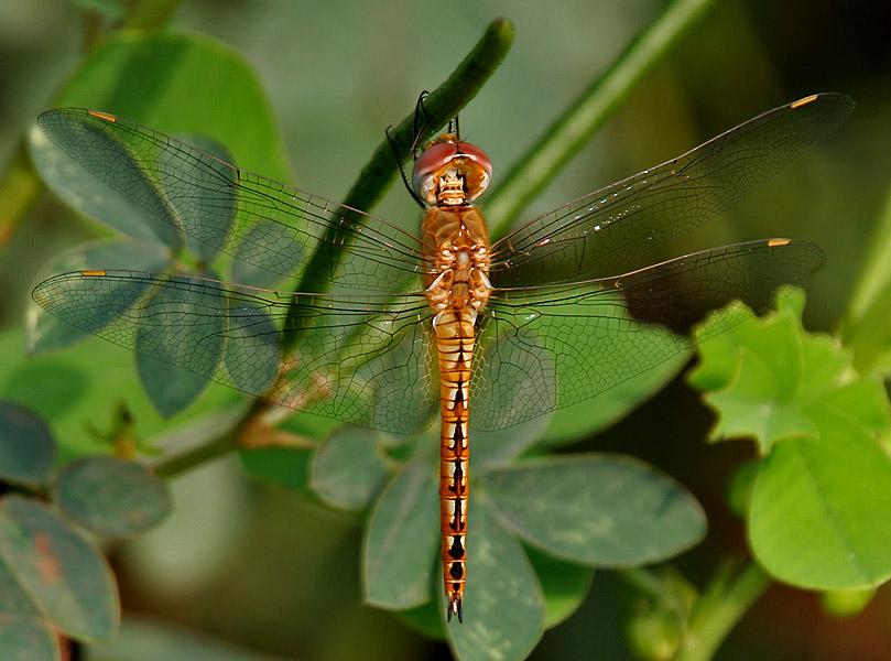 Datei:Wandering Glider (Pantala flavescens) W IMG 2670.jpg – Wikipedia