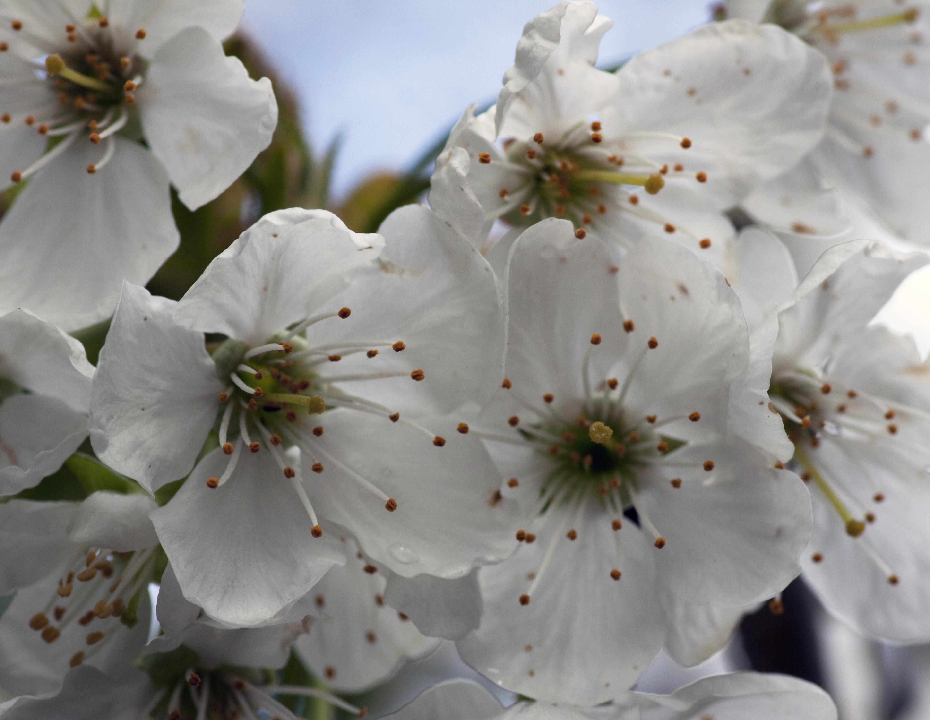 File:White Cherry Blossom (4551208506).jpg - Wikimedia Commons