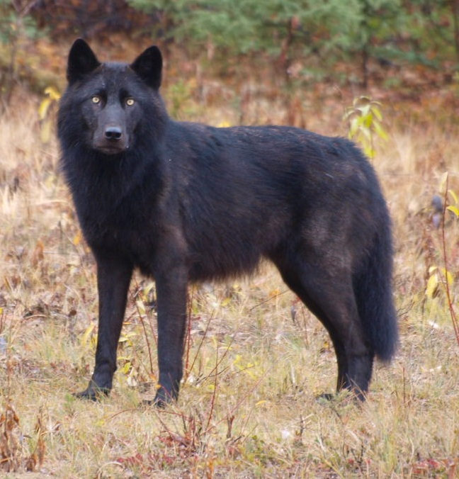 Big Wolf Dog Breeds