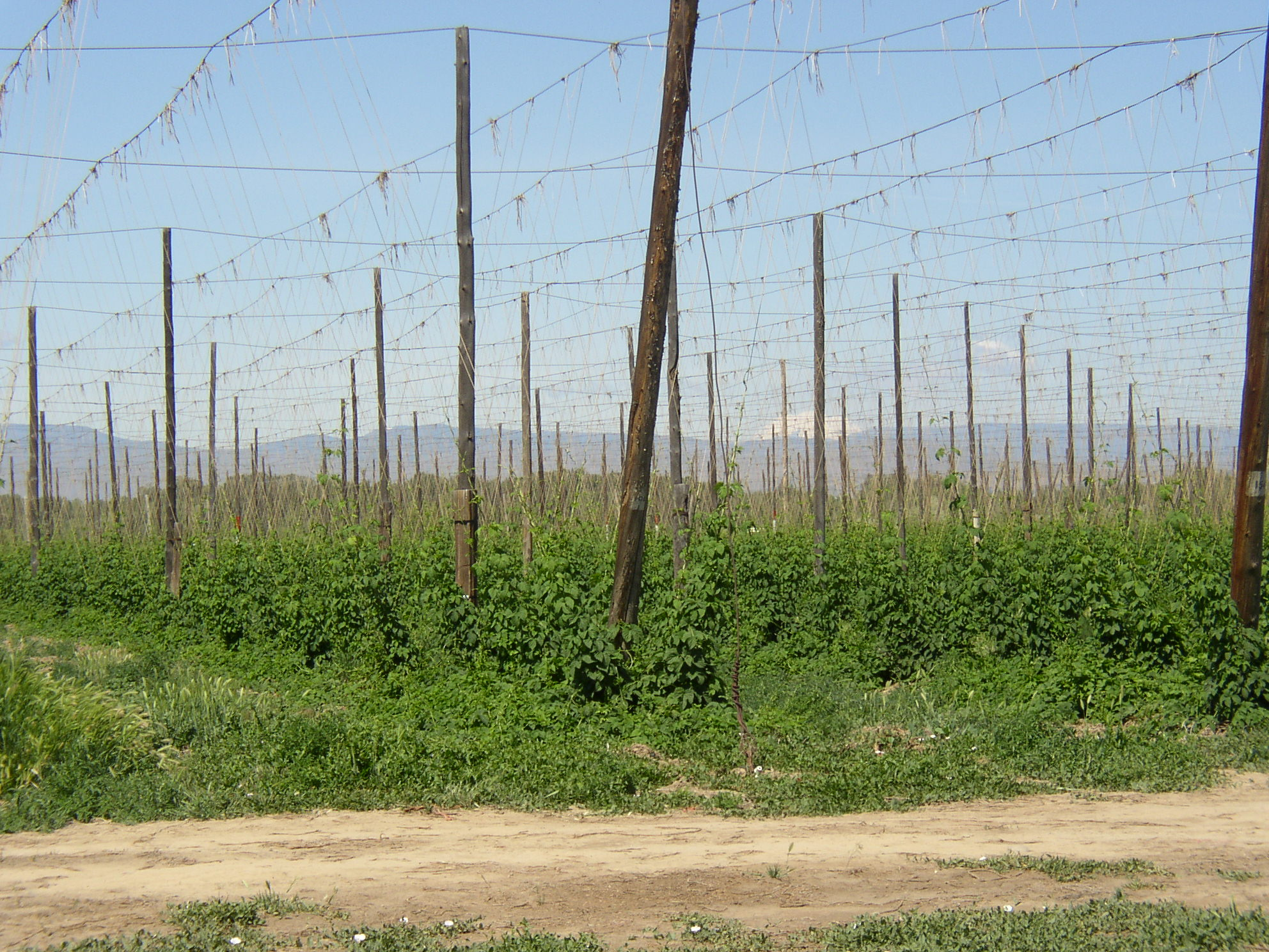 Early season hop growth in a hop yard in the Yakima River Valley of Washington with Mount Adams in the distance