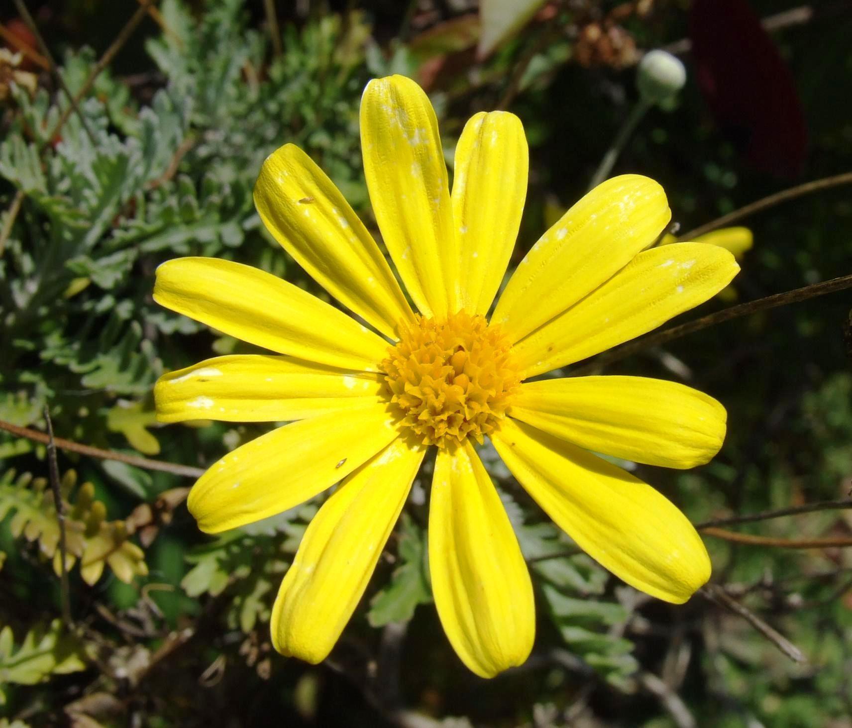 fileyellow daisy  wikipedia, Beautiful flower