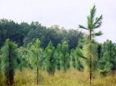 اشجار الصوبر معلومات