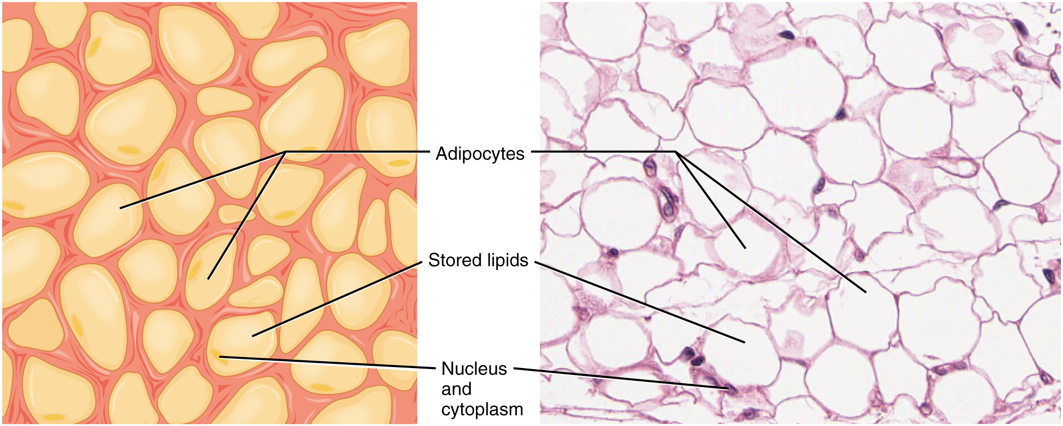 Popup moreover 24291 additionally The Use Of Confocal Laser Microscopy To Analyze Mouse Retinal Blood Vessels together with File 409 Adipose Tissue together with Adrenal Glands. on in capillaries
