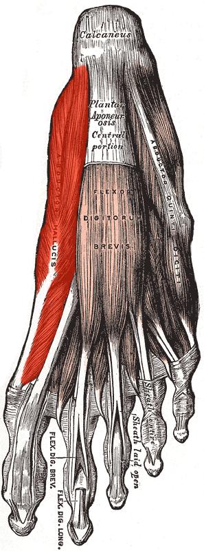 Músculo abductor del dedo gordo - Wikiwand