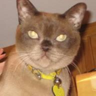 Acat Burmese cat.jpg