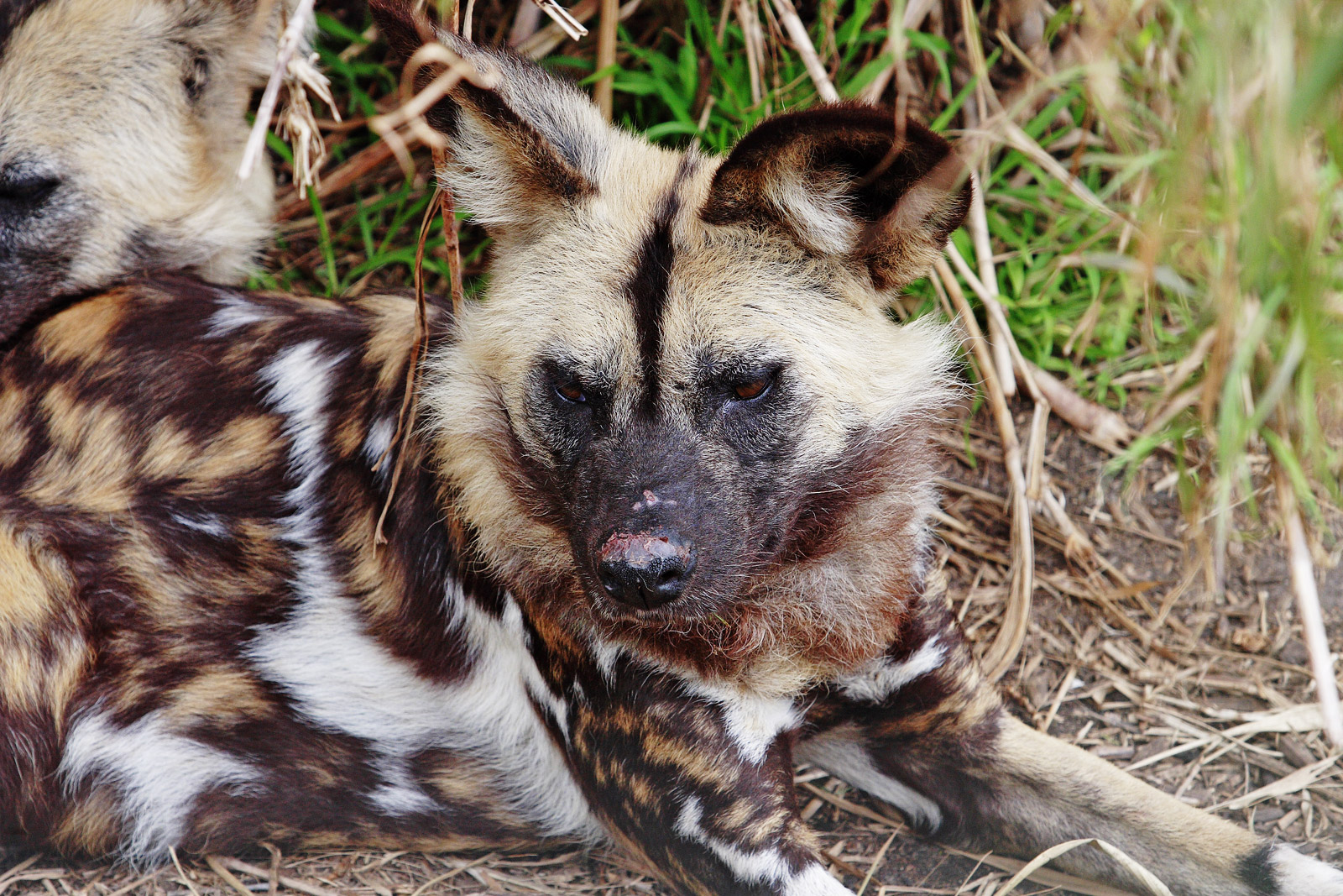African wild dog simple english wikipedia the free encyclopedia