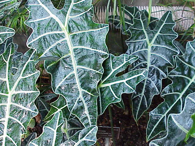alocasia sanderiana wikipedia. Black Bedroom Furniture Sets. Home Design Ideas