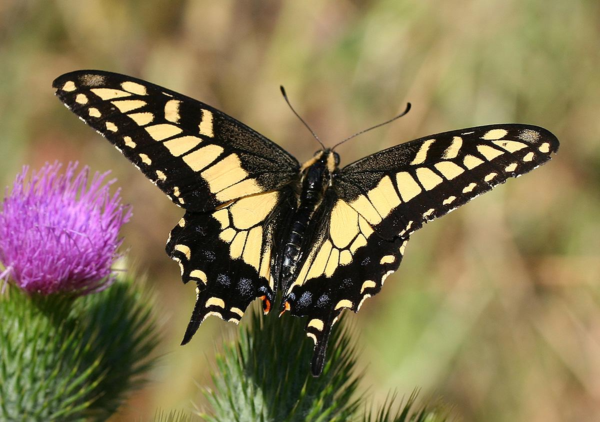 http://upload.wikimedia.org/wikipedia/commons/b/bf/Anise_swallowtail.jpg