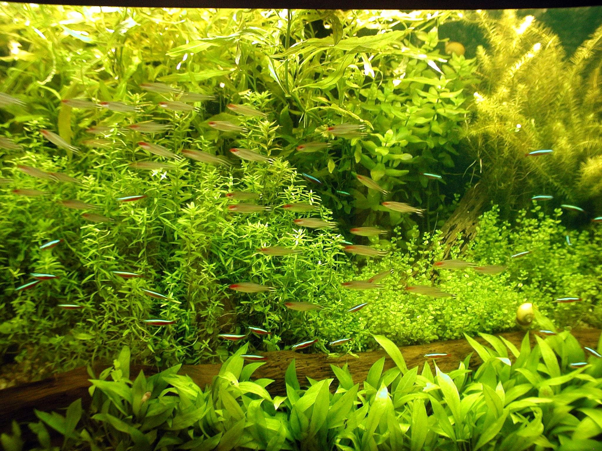 Aquarium fish tank plants -  File Aquarium Fish In Green Aqua Plants Jpg Wikimedia Commons Fish Tank