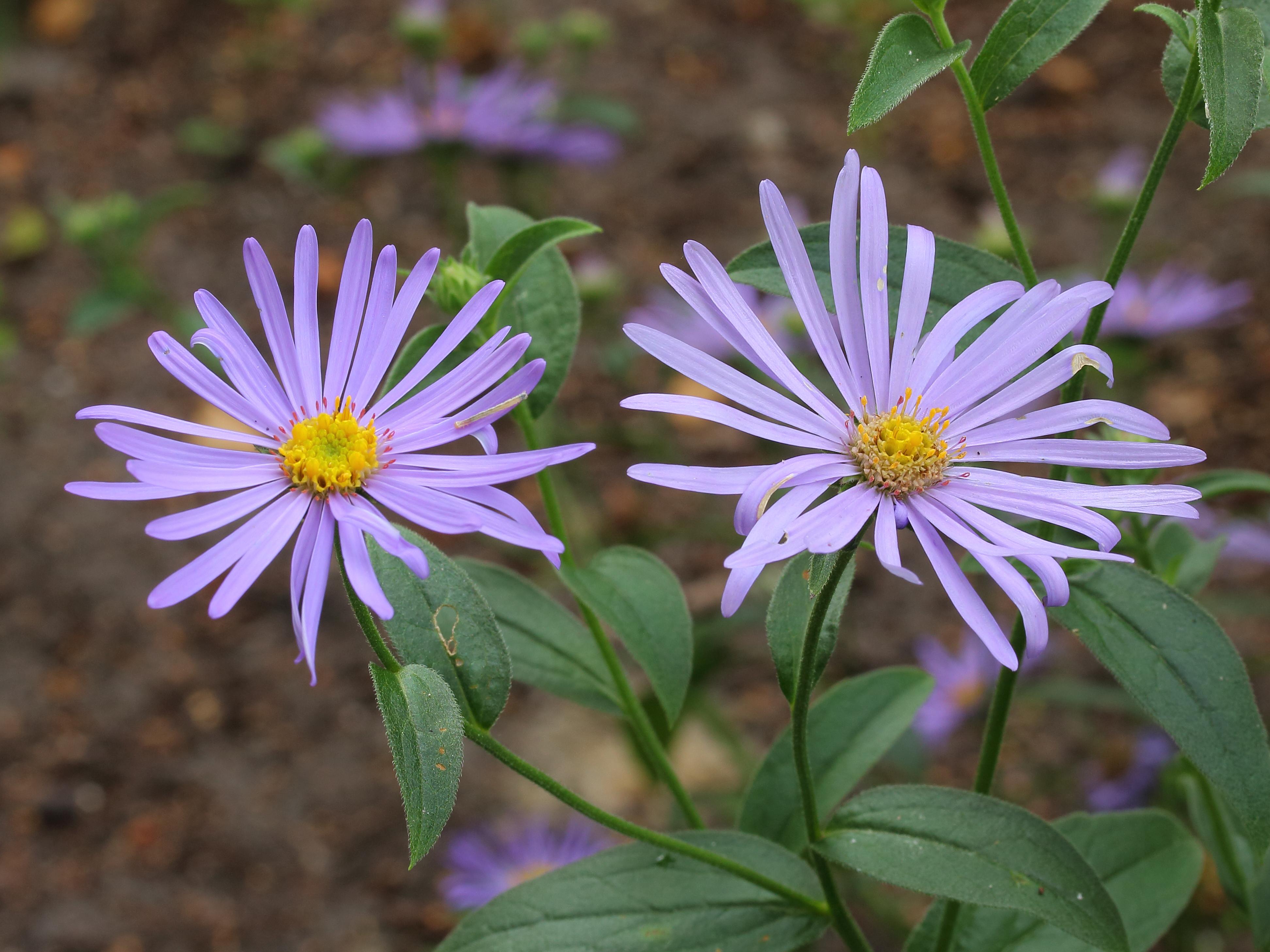 Top 10 Most Beautiful Aster Flowers Yabibo