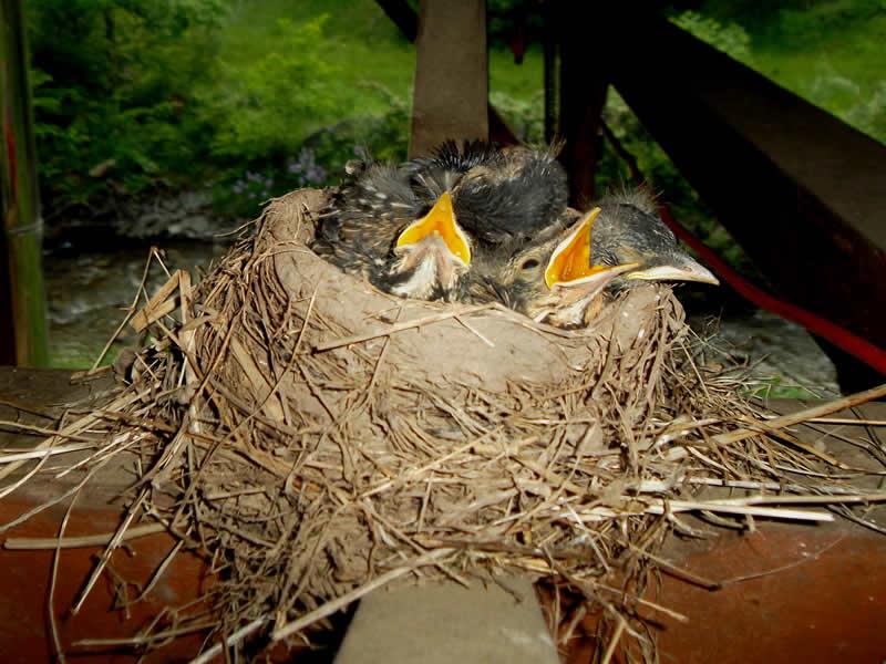Robins nest