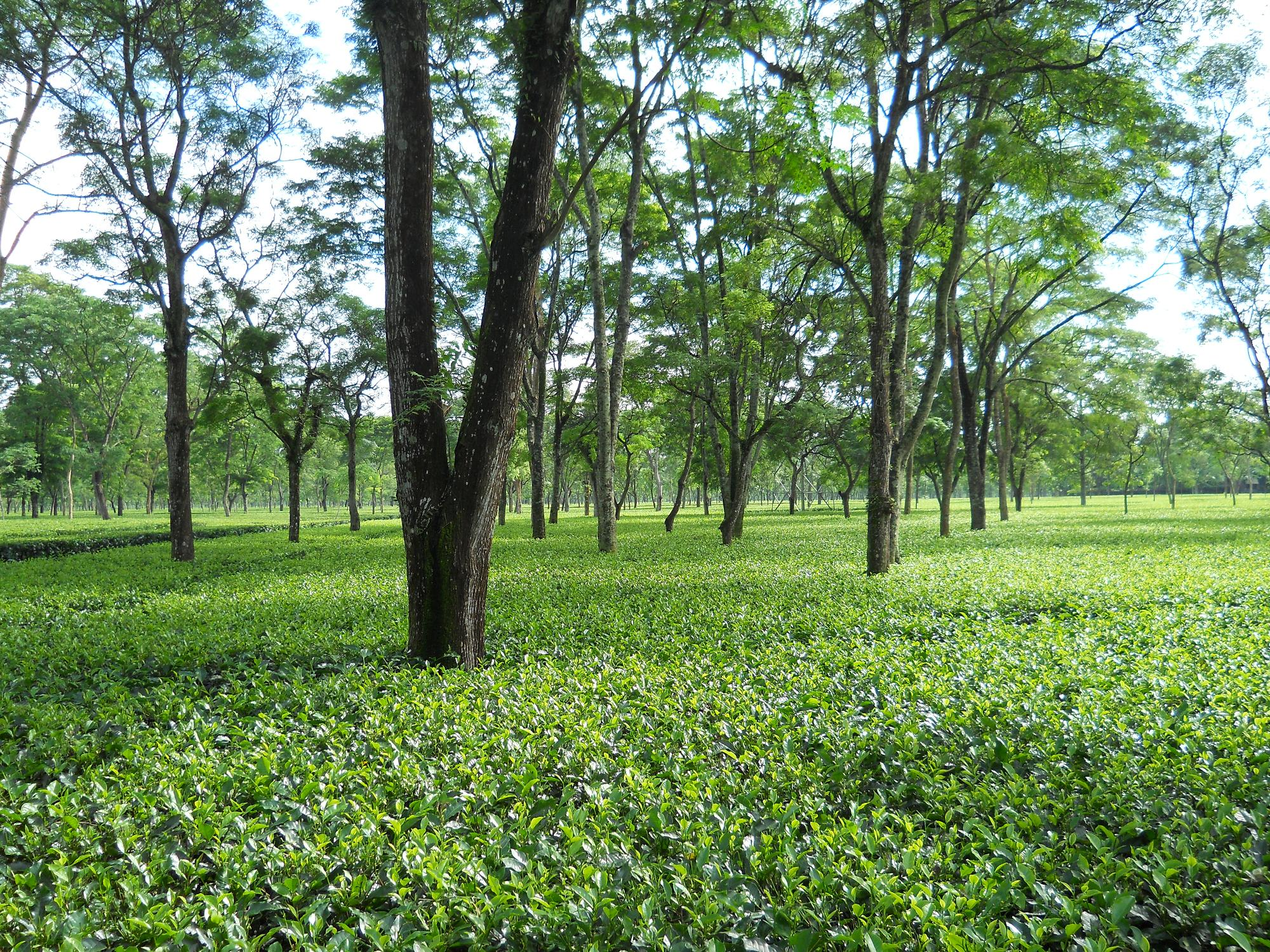 File Binnaguri Tea Wikimedia Commons