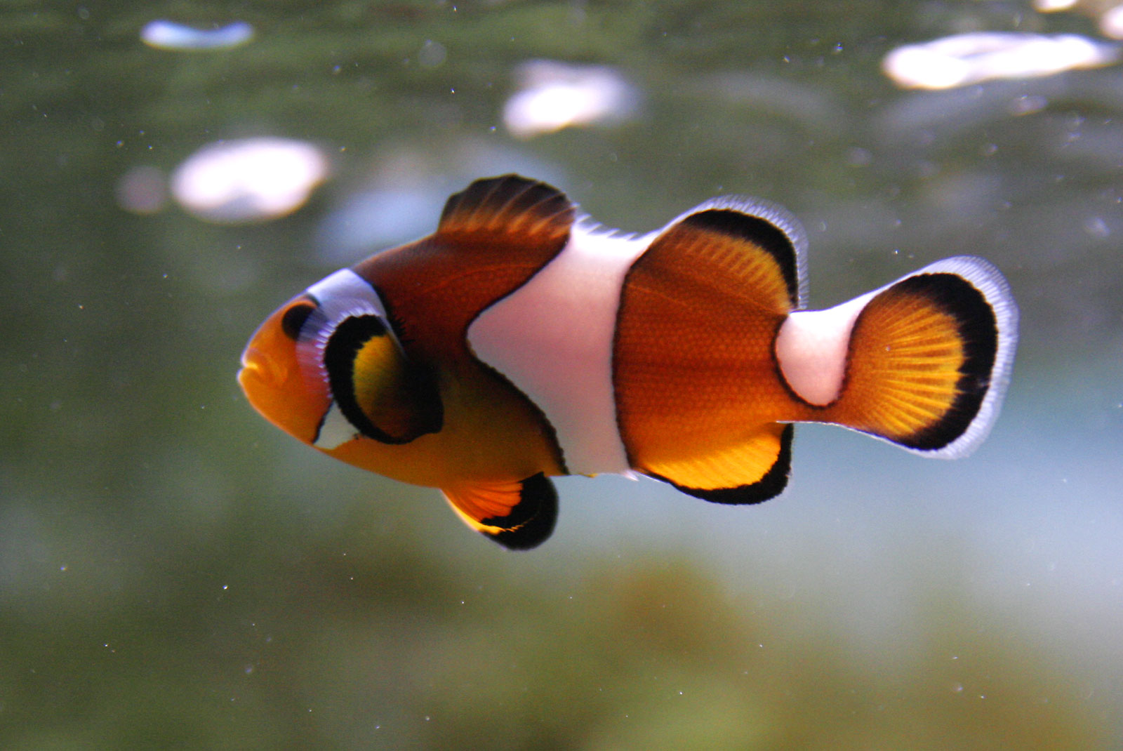 What 39 s your favorite fish girlsaskguys for Pictures of clown fish