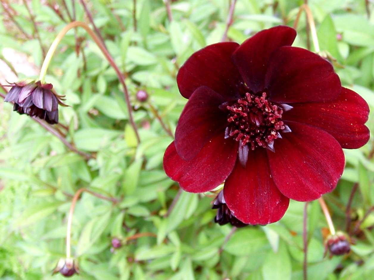 File:Cosmos atrosanguineus 01.jpg - Wikimedia Commons