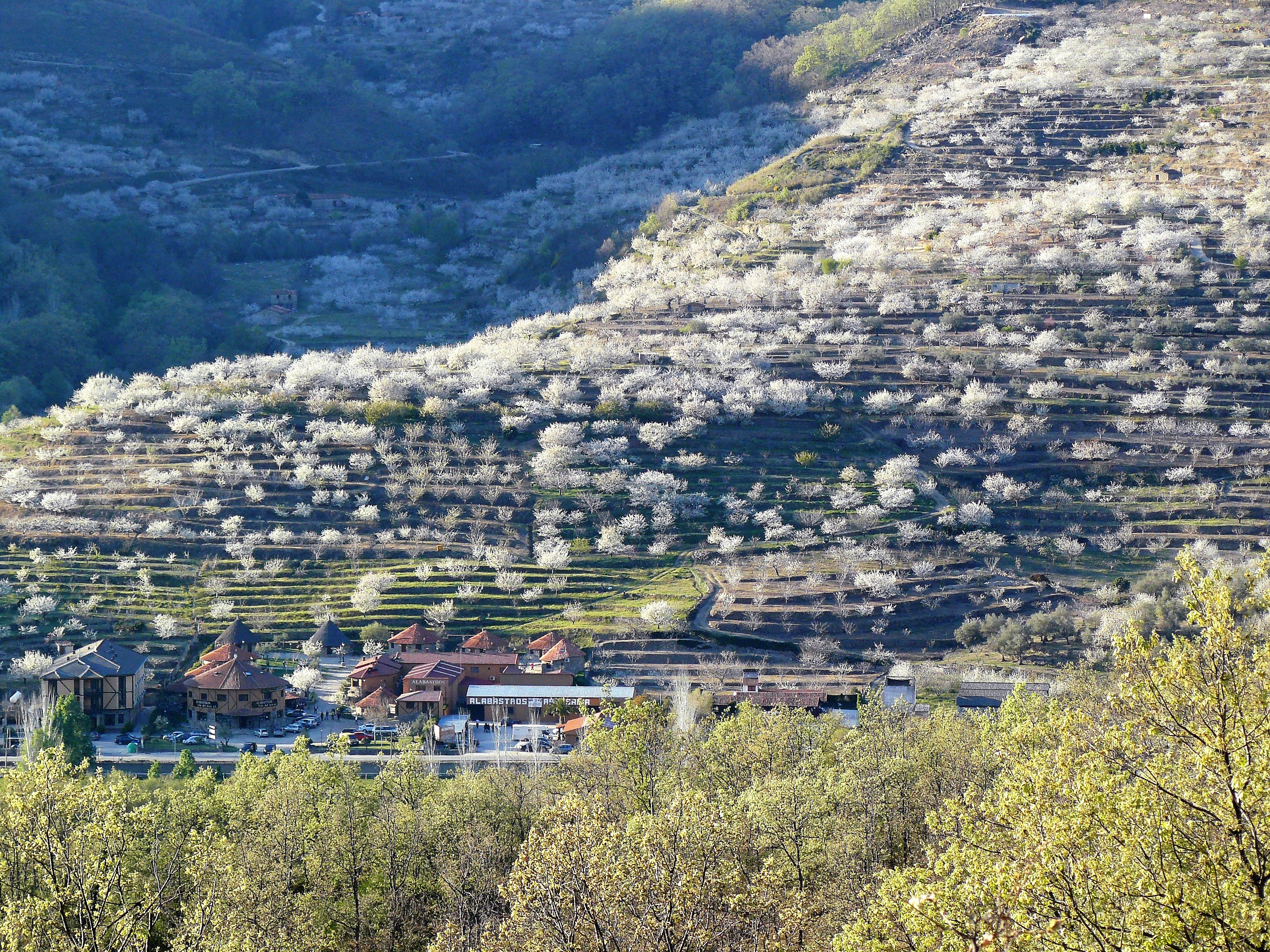 File Cultivo De Cerezos En Terrazas Jpg Wikimedia Commons