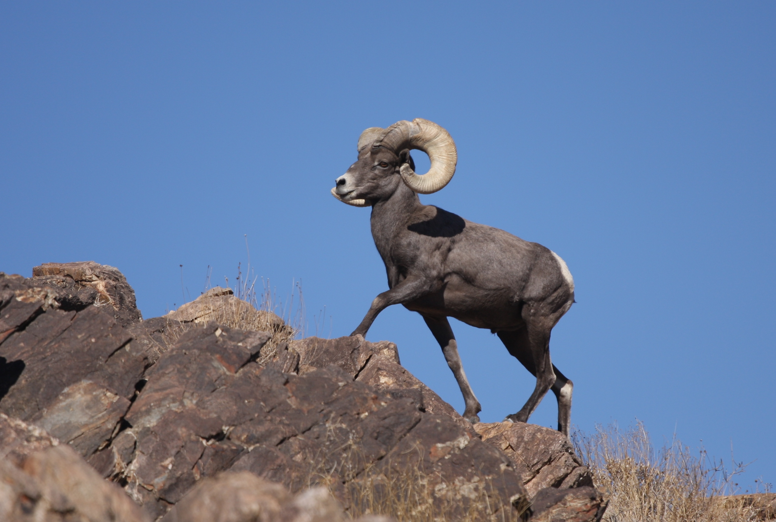 Bighorn Sheep Wikipedia The Free Encyclopedia Autos Post