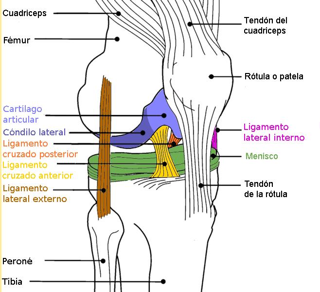Archivo:Diagrama rodilla color.png - Wikipedia, la enciclopedia libre