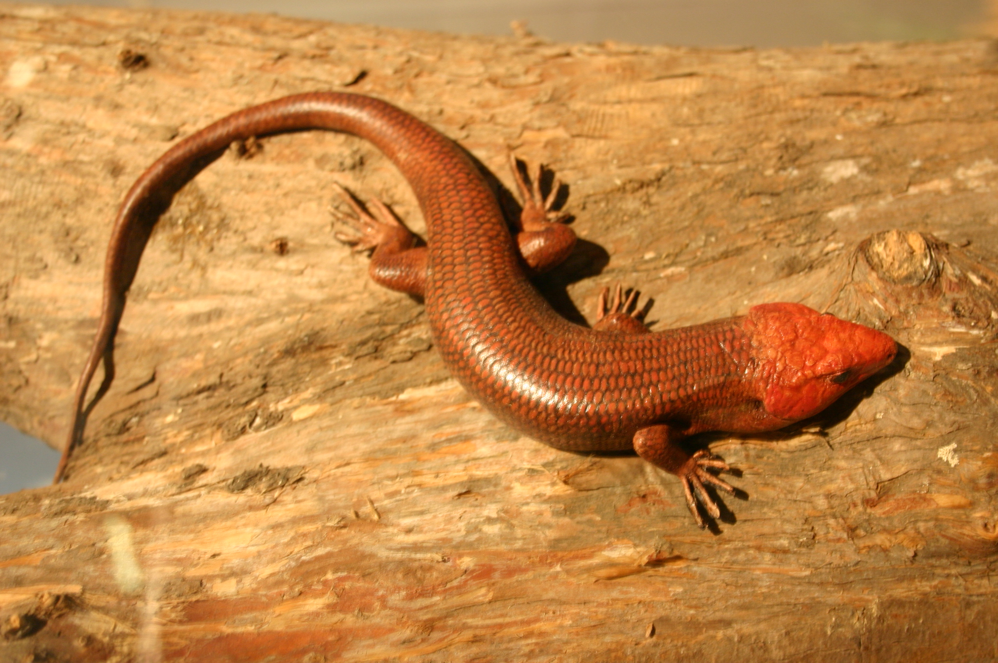 Broad-Headed Skink (Plestidion laticeps)
