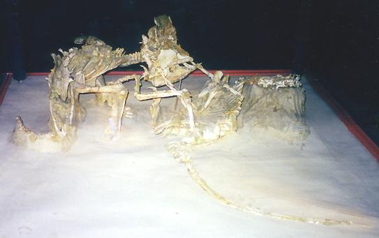 Diorama Sideshow : Vélociraptor VS Protocératops dans Fossiles et Museums Fightingdinosamnh2