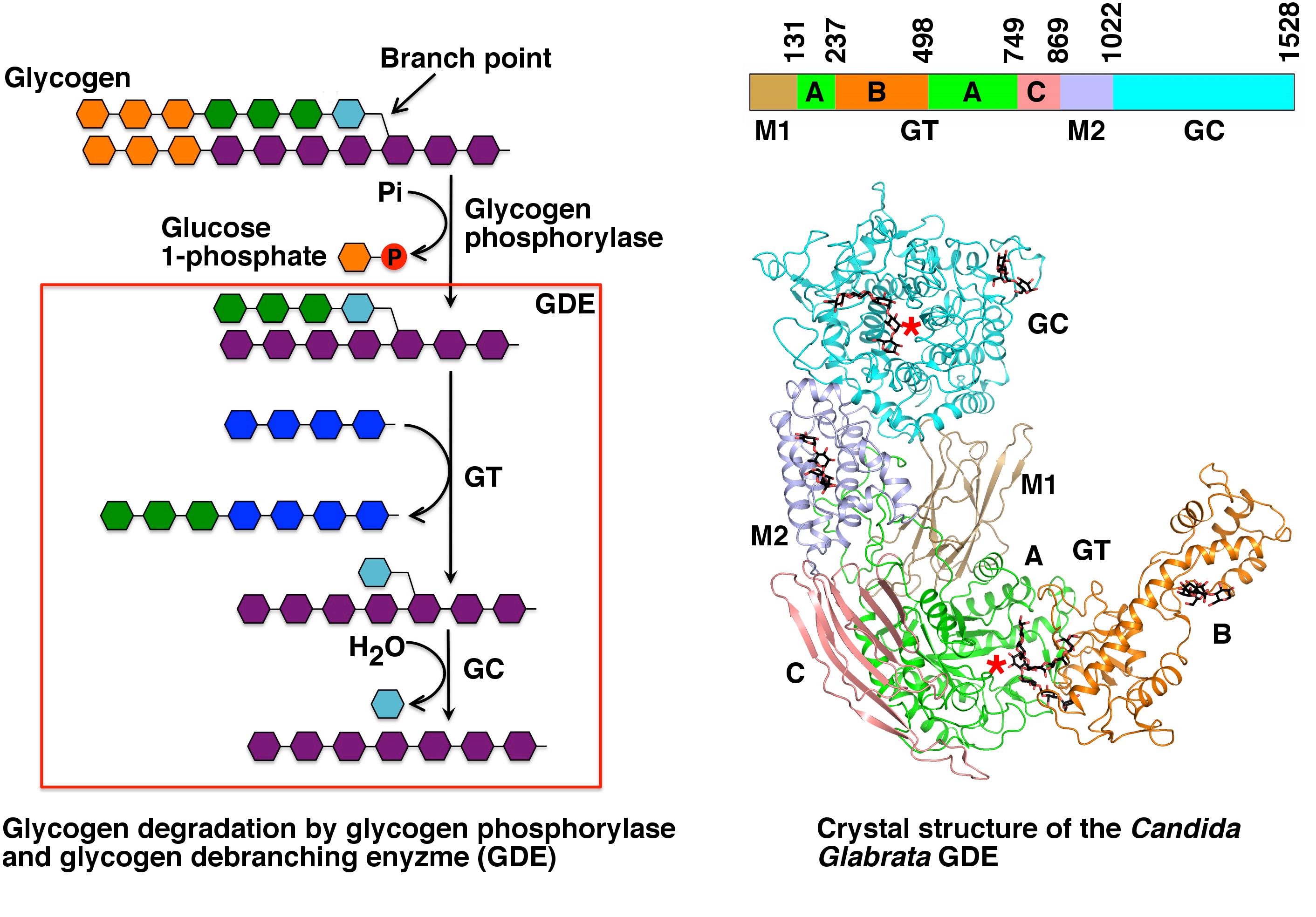 Glycogen debranching enzyme - Wikipedia