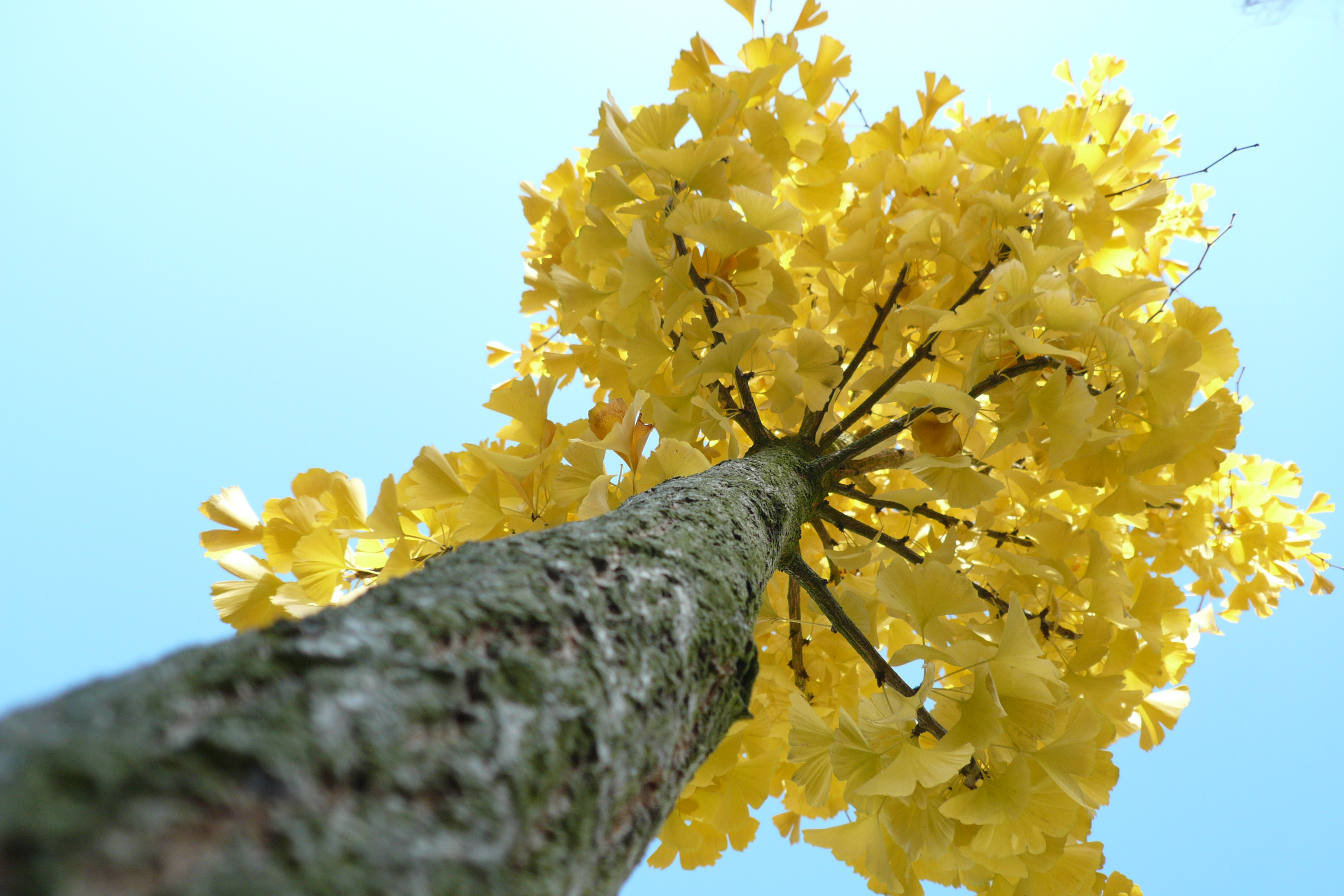 how to know ginkgo male or female