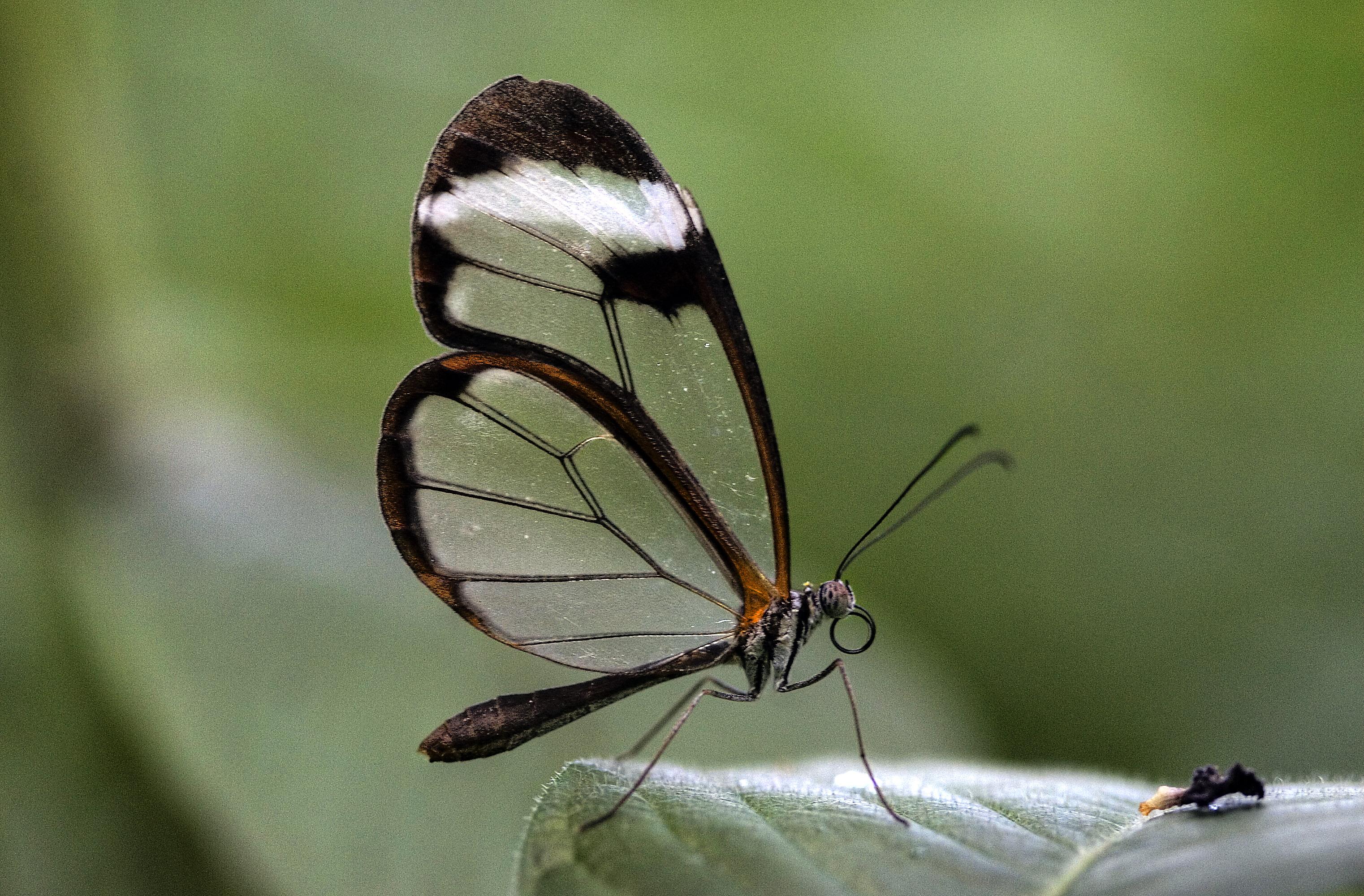 Fileglasswinged Butterfly Greta Otojpg Wikimedia Commons