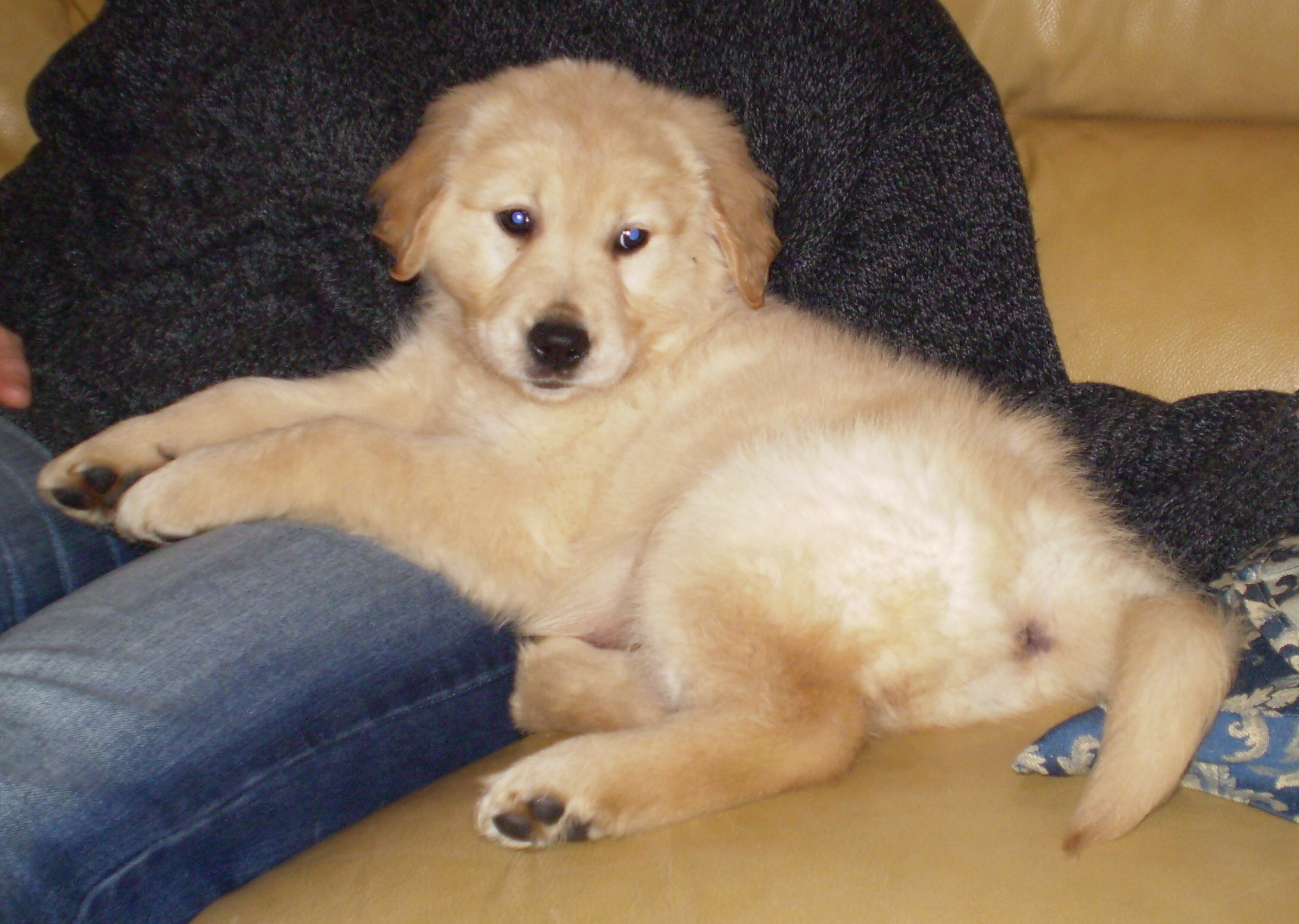 Saint Bernard Boxer Golden Retriever Mix Pup Discovery The Best