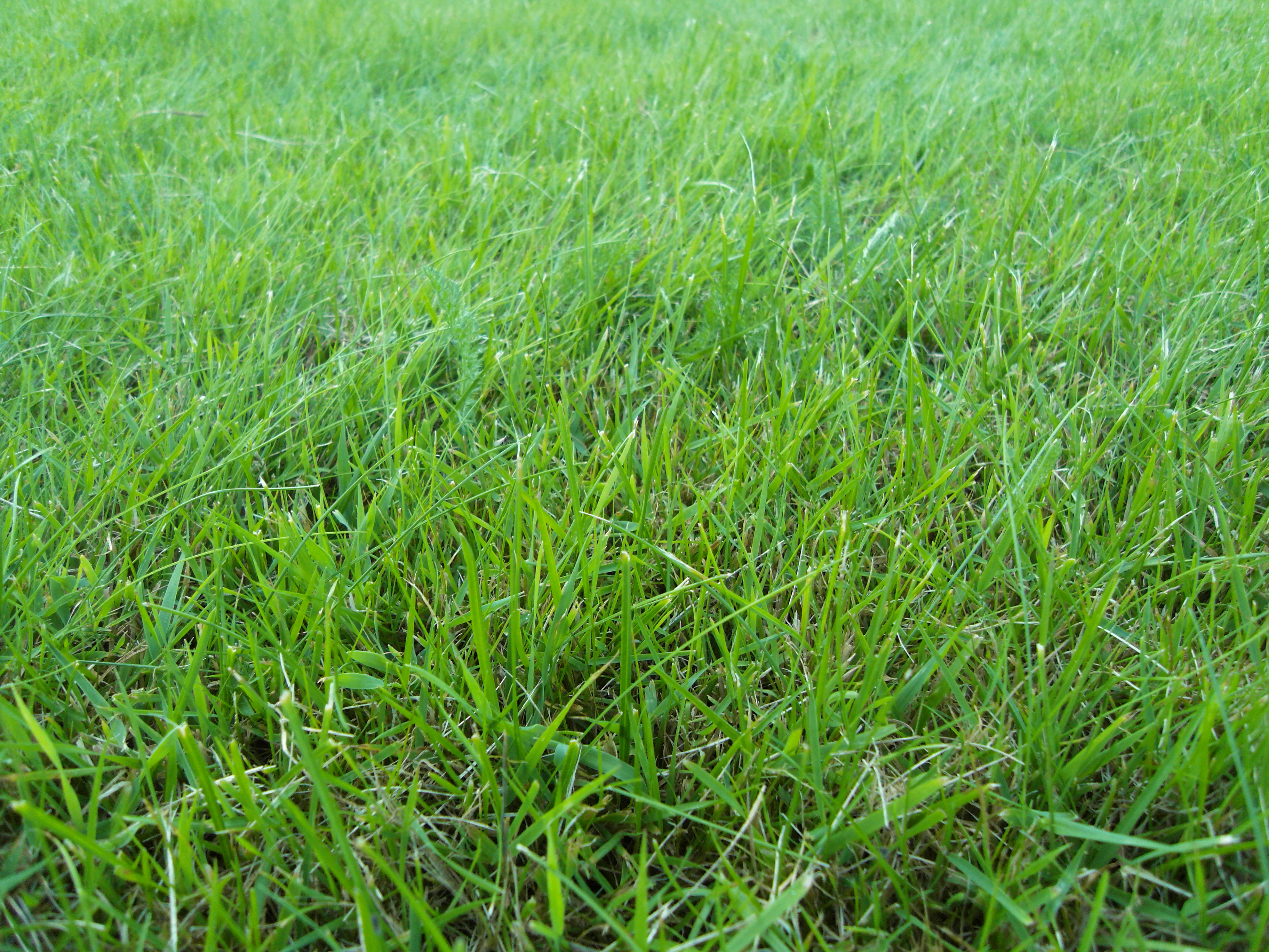 File:Grass, summer 2012.JPG - Wikimedia Commons