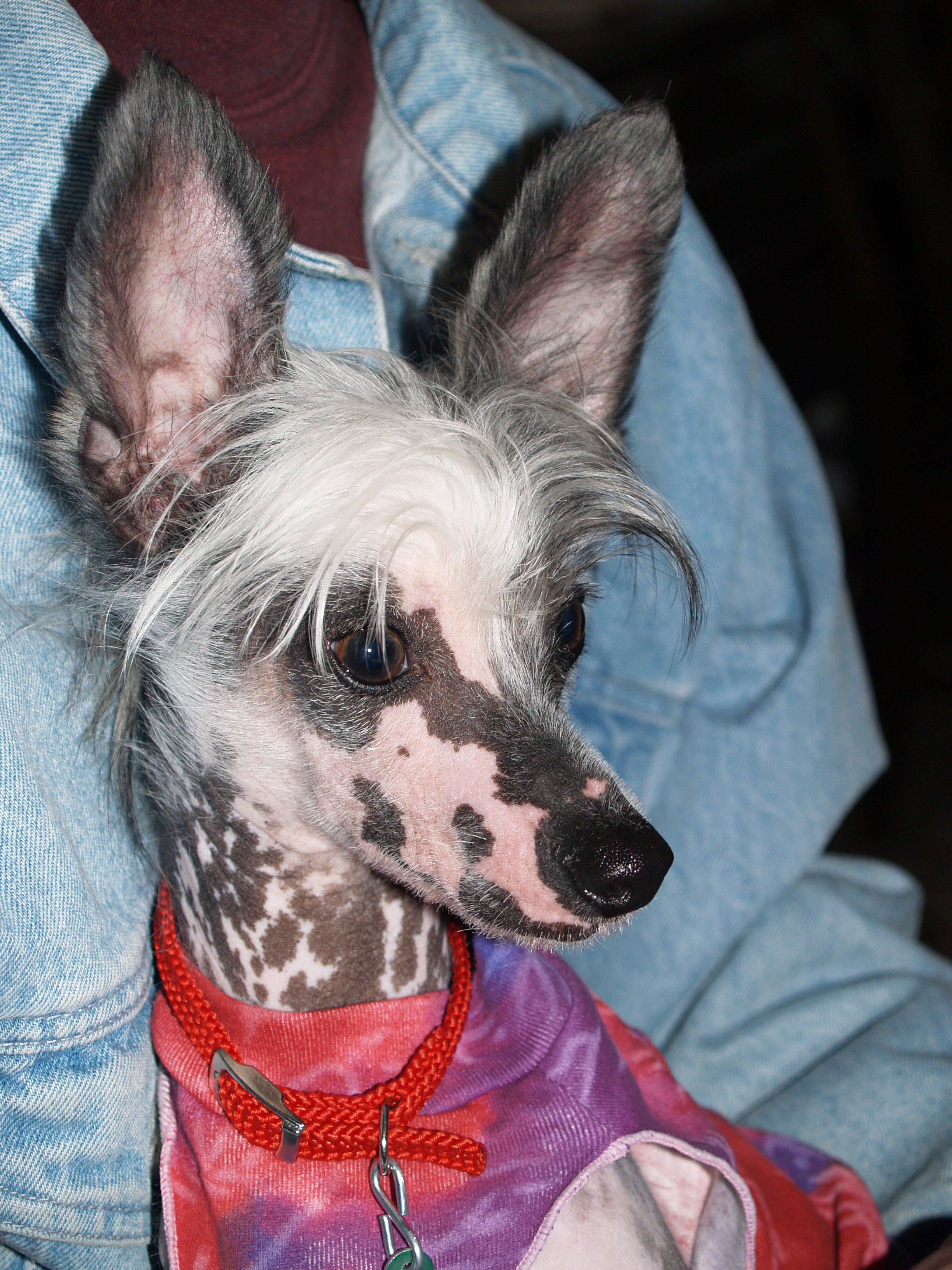 File:Hairless Chinese Crested Dog Male Akira.jpg - Wikimedia Commons